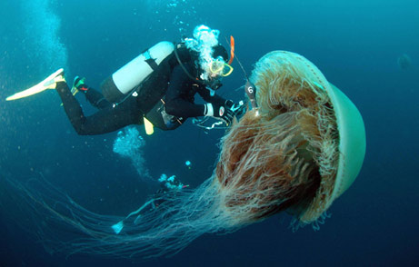 http://www.dragonballyee.com/blogpics/2006/01January/giantjellyfish.jpg